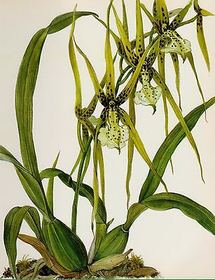 Botanical Flower Print Vintage Orchid Wall Art Cottage Decor B. Verrucosa 2858