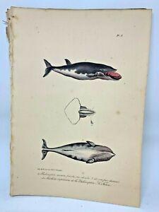 Original-Antique-Lacepede-1832-Hand-Colored-Plate-8-Whales