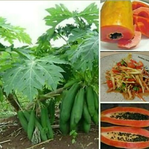Som Tum Bi-sexual Thai Kag Dum Dwarf Papaya Red Papaya 10 Seeds Bonsai