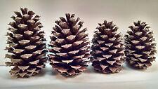 50 Georgia Pine Cones Natural Arts Crafts Firestarters Wedding Home Decor Brown