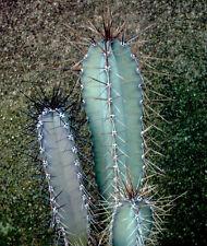 Cereus forbesii grafting stock grafted cacti night flower cactus seed 20 SEEDS