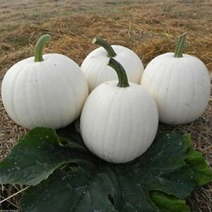 Squash Winter Pumpkin SNOWBALL WHITE 12 SEEDS White Flesh ...