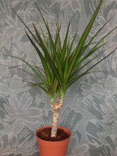 "1 Bonsai Tree Live Plant Dracena Marginata Dragon Madagascar 5 Years Old 4"" Pot"