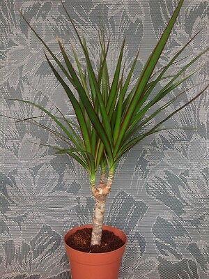 1 Bonsai Tree Live Plant Dracena Marginata Dragon Madagascar 5 Years Old 4 Pot Ebay