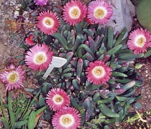 Cephalophyllum caespitosum mesemb cactus seed 100 SEEDS