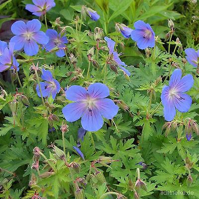 1x Staude Pflanze Himalaya- Storchschnabel (Geranium himalayense JOHNSONS BLUE )