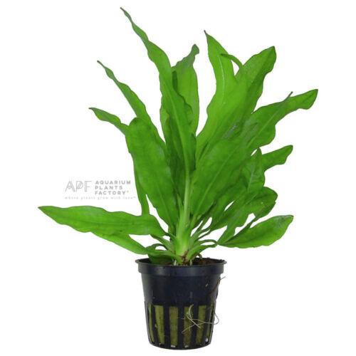 Ruffled Amazon Sword Echinodorus Martii Pot Live Aquarium Plants BUY2GET1FREE*
