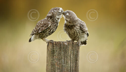 Mark Bridger Owl Bird Kiss Poster 11x14 WILDLIFE ART PRINT Another Little Peck