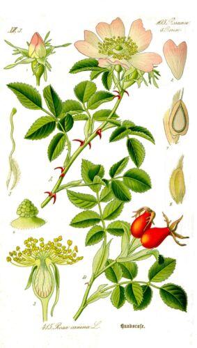 Heckenrose min 50 Samen Hundsrose seeds Heilpflanze Rosa canina Wildrose