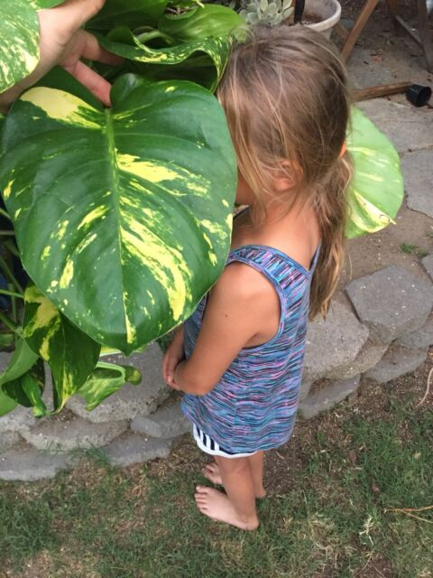 Giant Leaf Philodendron Rare Tropical Pothos Climbing Variegated Monstera Aroid