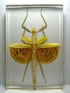 PARACHYPOCRANA-MAJOR-STICK-INSECT-Real-Phasmatodea-embedded-in-casting-resin