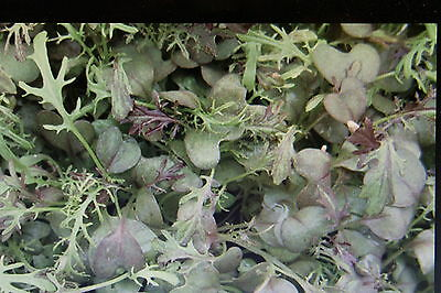 "20 Samen roter Blattsenf,Brassica juncea /""Red Giant/""/""#605"