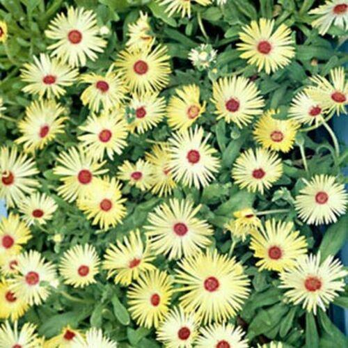 Ice Plant Livingston Daisy 100 Seeds Yellow
