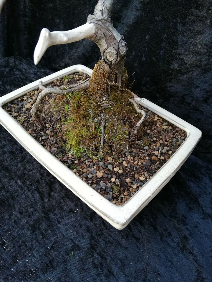 Bonsai træ, Juniperus