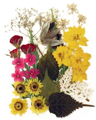 Prensado De Flores Larkspur Rose brotes Verbena plantaciones Albaricoque Flor Follaje