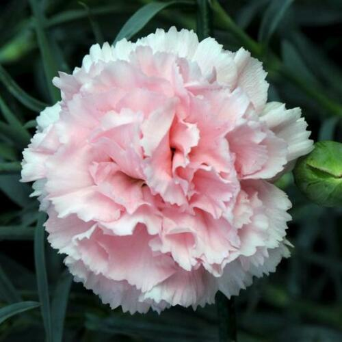 100 Le France Pink French Carnation Flower Seeds Flat Rate Shipping