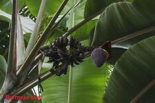 10x Bananen Samen Musa itinerans Burmese Blue (blaue Burma Banane) Frosthart