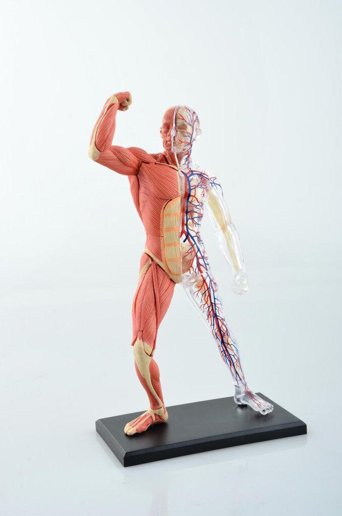 Human Muscle And Skeleton Anatomy Model Medical Simulation Human