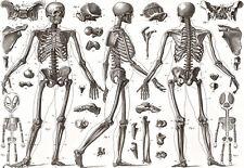POSTER ARTISTICO-Ossa umane - 1850-Medical-ANATOMIA a3 Print