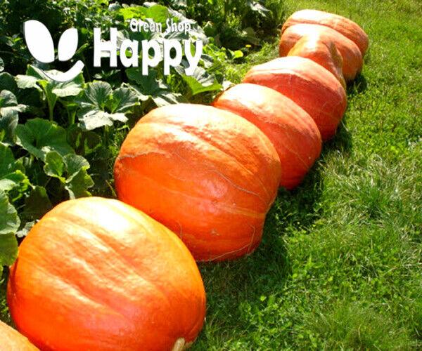 VEGETABLE - PUMPKIN GOLIAS 15 seeds - LARGE UP TO 30 KG - Carving pumpkin seeds