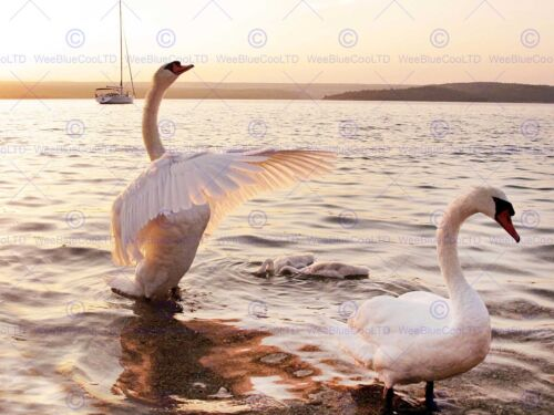 SWAN BIRDS DUCKLINGS SEA PHOTO ART PRINT POSTER PICTURE BMP1166A