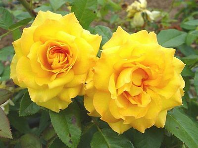 Rose Bush Seeds ★  Royal Gold Rosa ★ Climbing Rose Bush ★ Fragrant ★ 10 Seeds