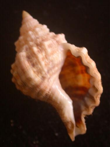 seashell Cymatium muricinum 32mm F+++