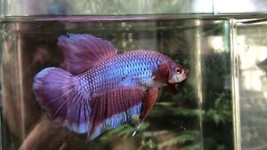 Betta Fish Super Giant Lavender Size 2 3/4 Inch Body Only high quality fish