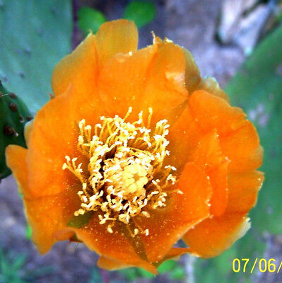 """Kaktus /""""Disocactus/"""" sehr rar riesen gelbe Blüte sogar Früchte Blattkaktus"""