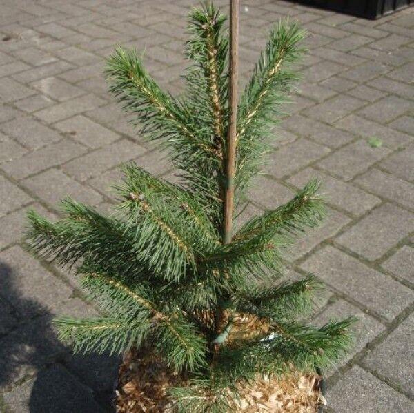 Picea smithiana - Himalaja-Fichte - Morinda-Fichte