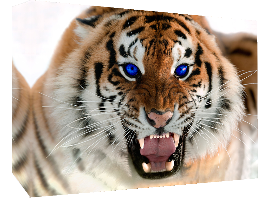 Roaring Tiger with Blau Eyes - Cotton Canvas Wall Art Picture Print- ALL GrößeS