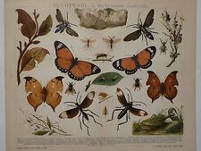 Lithographie nachahmende Zuchtwahl Insekten, Entomologie, Brockhaus 1901-1905