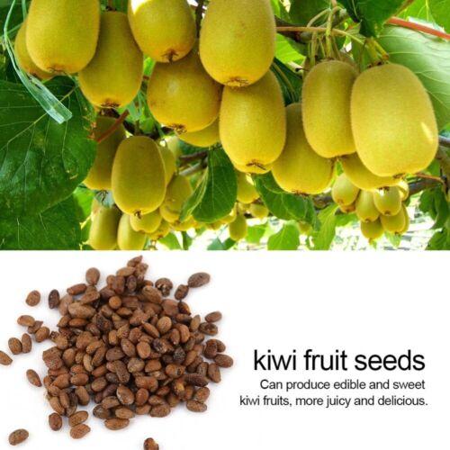 fruit tree bonsai,vegetable home garden plant Delicious kiwi 19 seeds USA fast