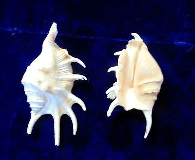 "TWO (2) LAMBIS LAMBIS  SEA SHELLS 3"" to 4""  SPIDER CONCH BEACH  DECOR CRAFT"