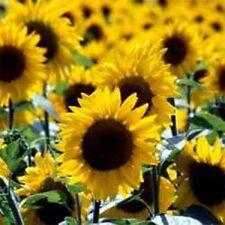 Sunflower Seeds 1,000 Wild Sunflower Seeds Bulk Flower Seeds