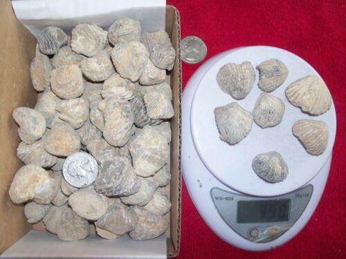 1 pound lbs of fossil brachiopods About 28 per pound 416-359 MYO