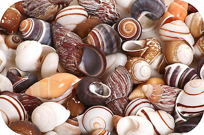 Landsnail Assorted Snail Seashells (Pack of 5 Shells)  Small Snail Sea Shells