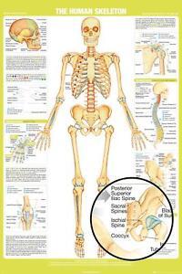 HUMAN SKELETON - CHART POSTER 24x36 - SCHOOL EDUCATION 34331