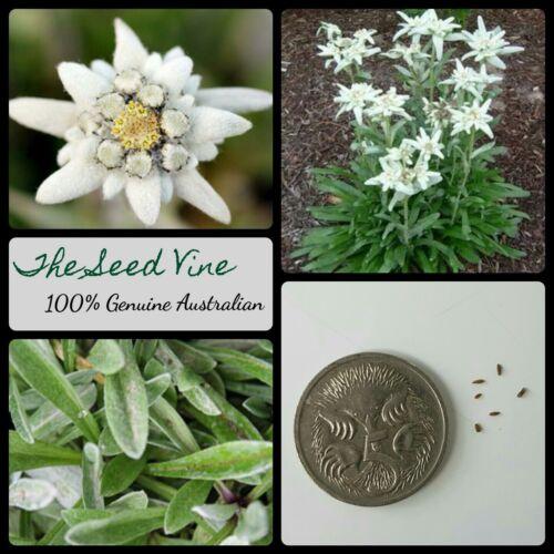 10 AUSTRIAN EDELWEISS SEEDS Mountain White Flower Alps Leontopodium alpinum