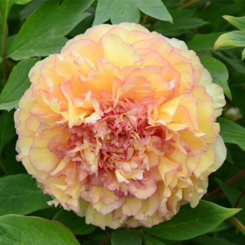 10Pcs Chinese Suffruticosa Paeonia Double Petals Peony Flower Seeds for Garden