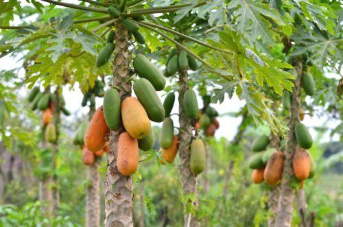 Maradol Papaya Tree seeds fruit in 9 months 25 seeds Buy 1 get 1 free