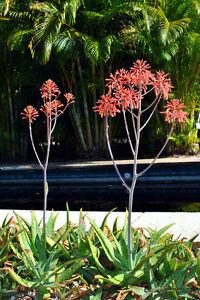 Fuer-die-Gesundheit-sehr-beliebt-die-schoene-Gefleckte-Aloe-Samen-Saatgut
