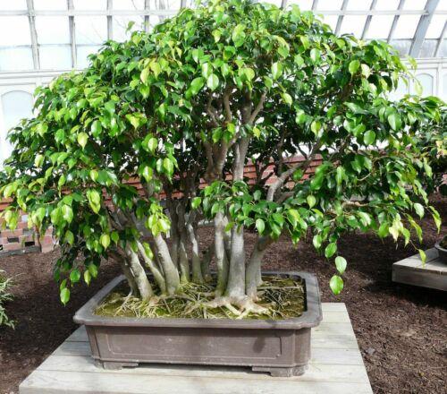 Ficus Benjamini I Bonsai débutant chambre plante les arbres verts exot Les bouIeaux lâchement I