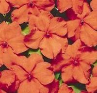 Impatiens/Busy Lizzy - Tempo Orange - 25 Seeds