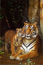 Tiger with Cub Poster Print, 24x36