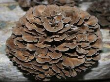 100 Organic Hen-of-Woods Mushroom Plugs--Grow Mushrooms on Logs! Spores Spawn.