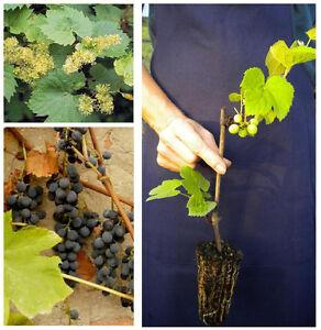VITIS LABRUSCA 1 pianta a radice nuda Uva fragola rossa resiste alle malattie