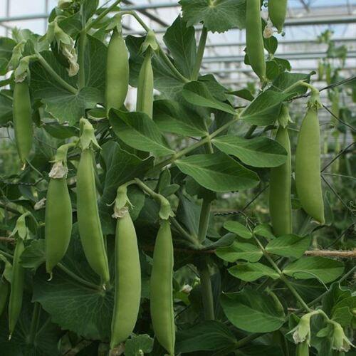 Kings Semences-Légumes-Pois (Snap) Nairobi - 250 graines