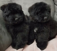 Bouvier Des Flandres Kijiji Buy Sell Save With Canada S 1 Local Classifieds