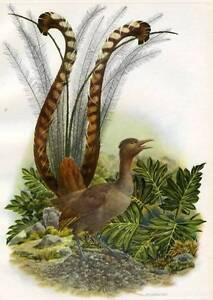 Birds-Lyre-1952-art-Vintage-print-Axel-Amuchastegui-piece-superb-lyrebird